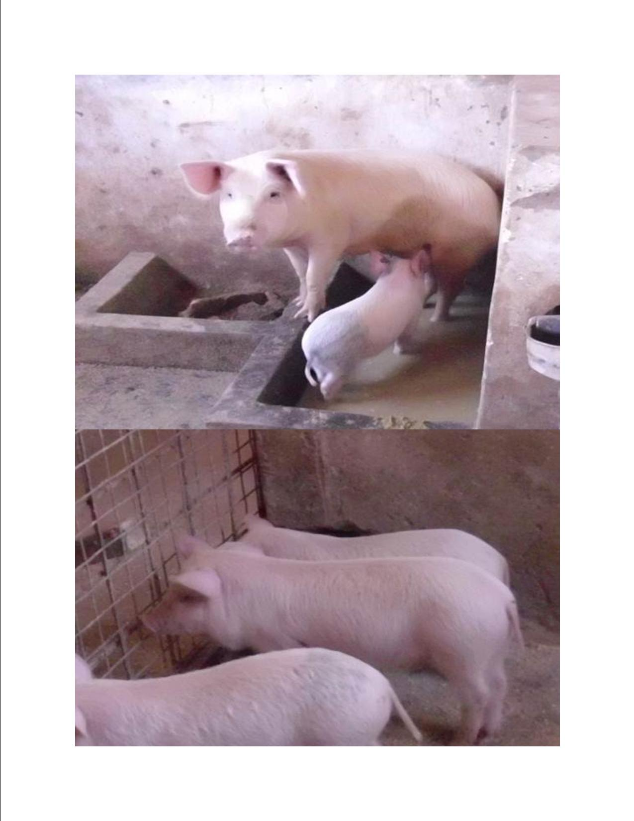 Piggery Farming